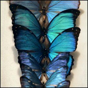 Naturalia Papillons